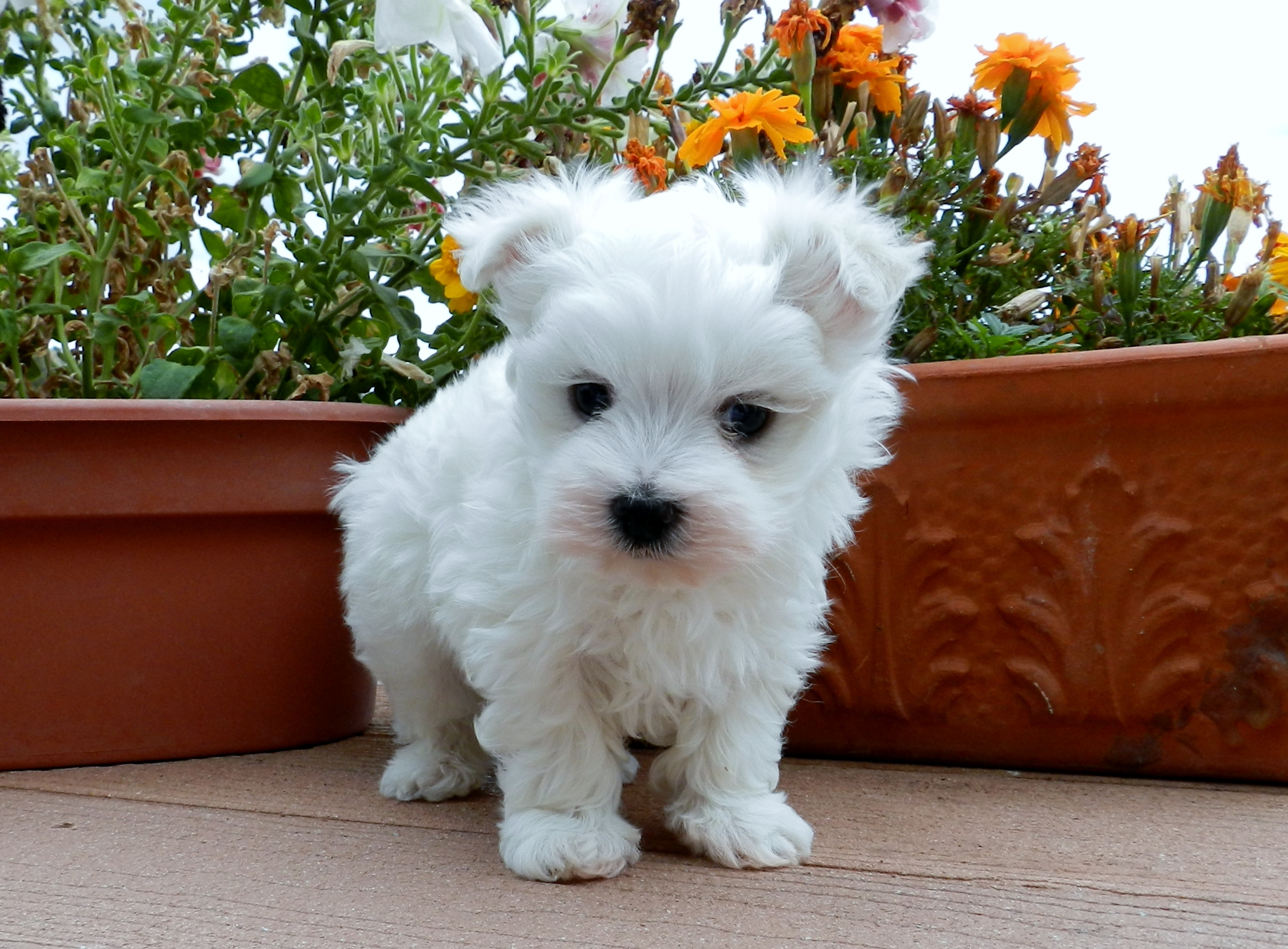Akc Maltese Puppies For Sale In Oregon Females And Males Availablemaltese Puppies French Bulldog Puppies