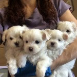 Arms full of Maltese Angels :)