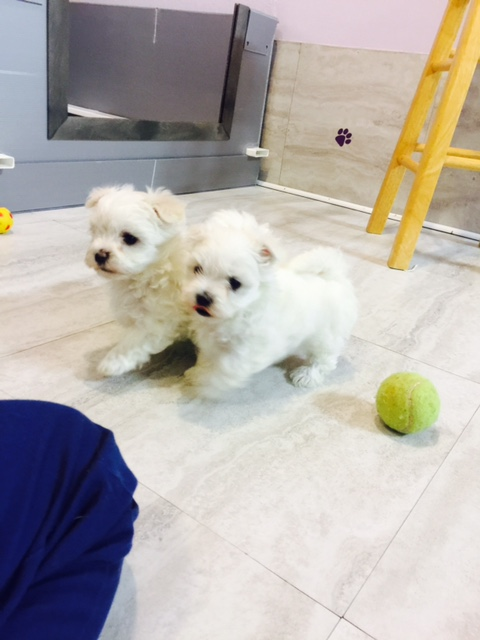 Maltese Puppies, French Bulldog Puppies & Teddy Bear Puppies